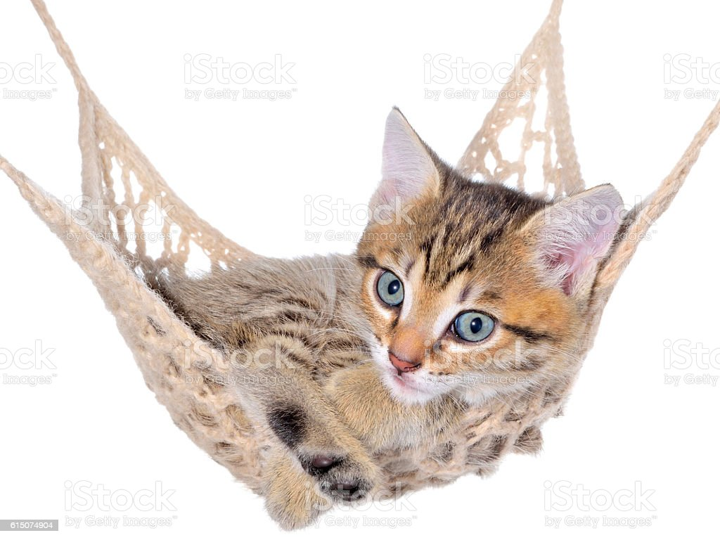 Short Hair brindle kitten lay in hammock stock photo