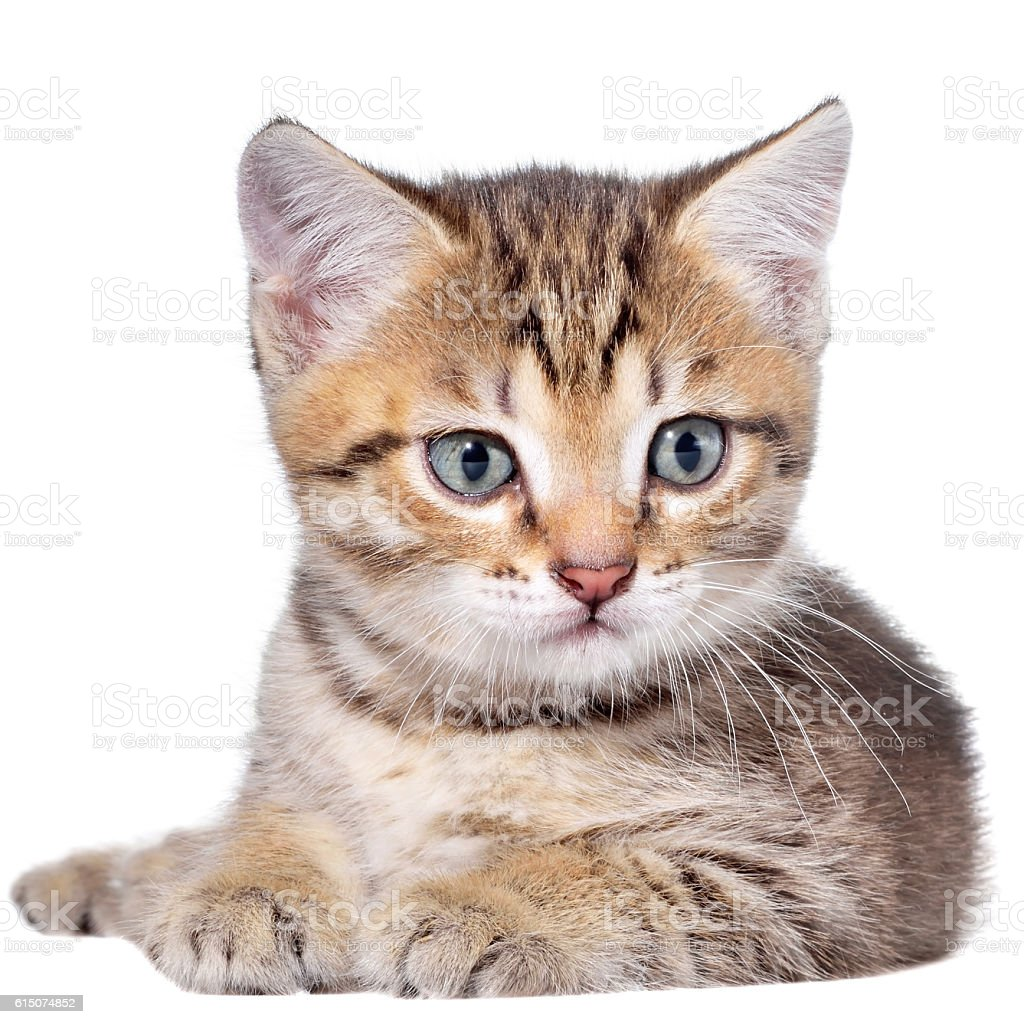Short Hair brindle kitten lay stock photo