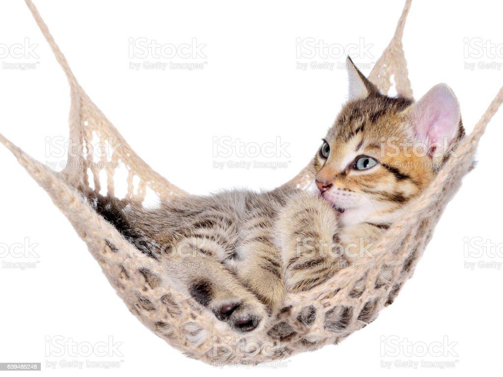 Short Hair brindle kitten sleep in hammock stock photo