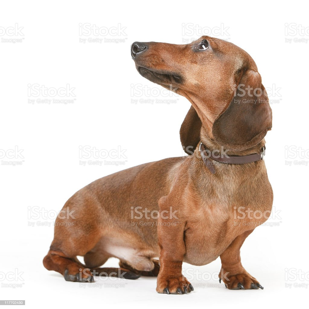 short haired badger-dog royalty-free stock photo