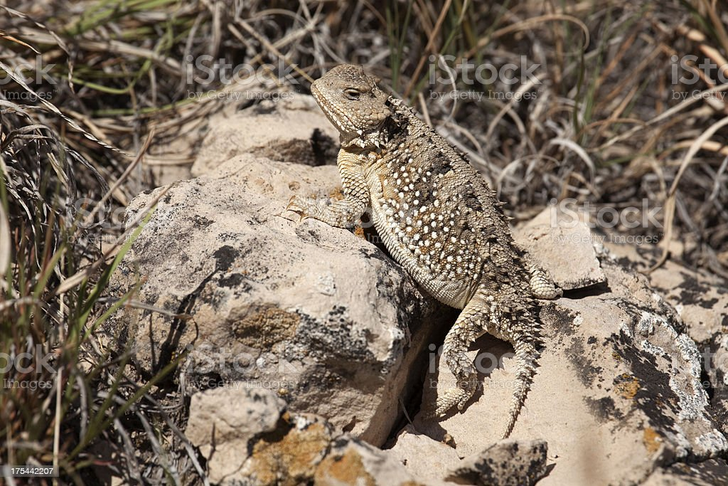 Short horned lizard Pawnee National Grasslands Colorado royalty-free stock photo