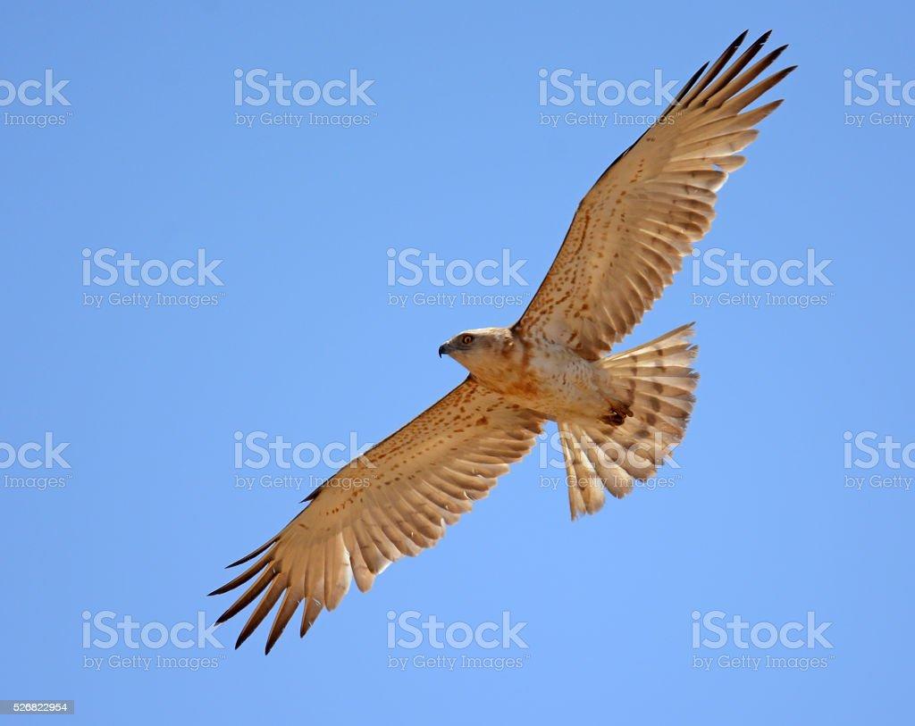 Short toed eagle flying overhead stock photo