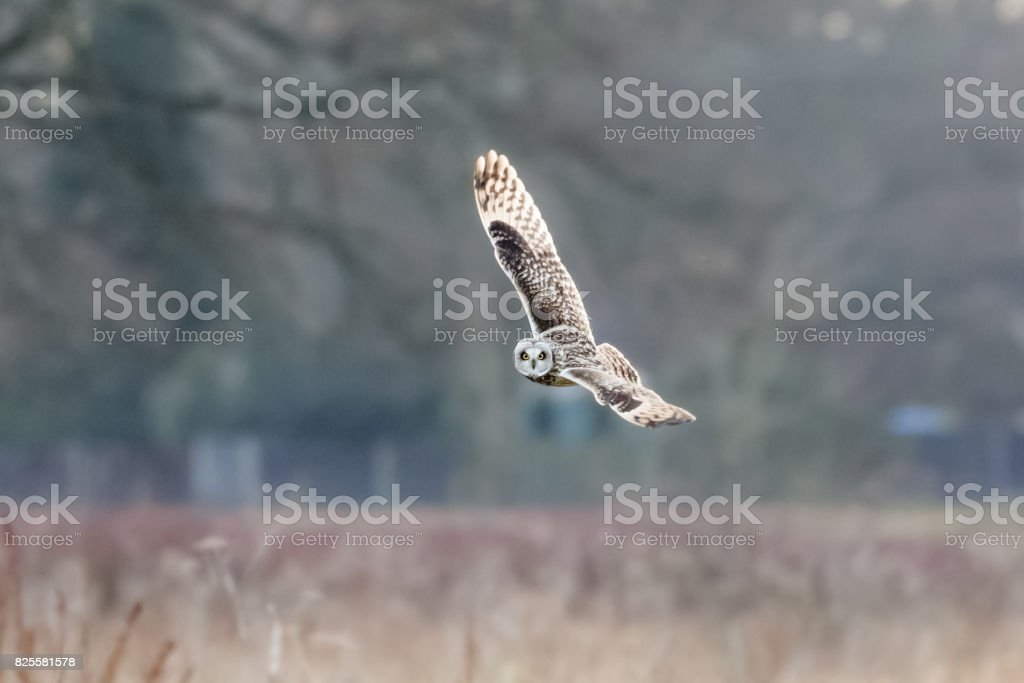 Short-eared Owl (Asio flammeus)  hunting banking flying, in flight over meadow stock photo