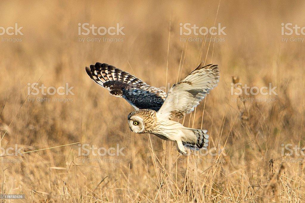 Hibou des marais de vol photo libre de droits