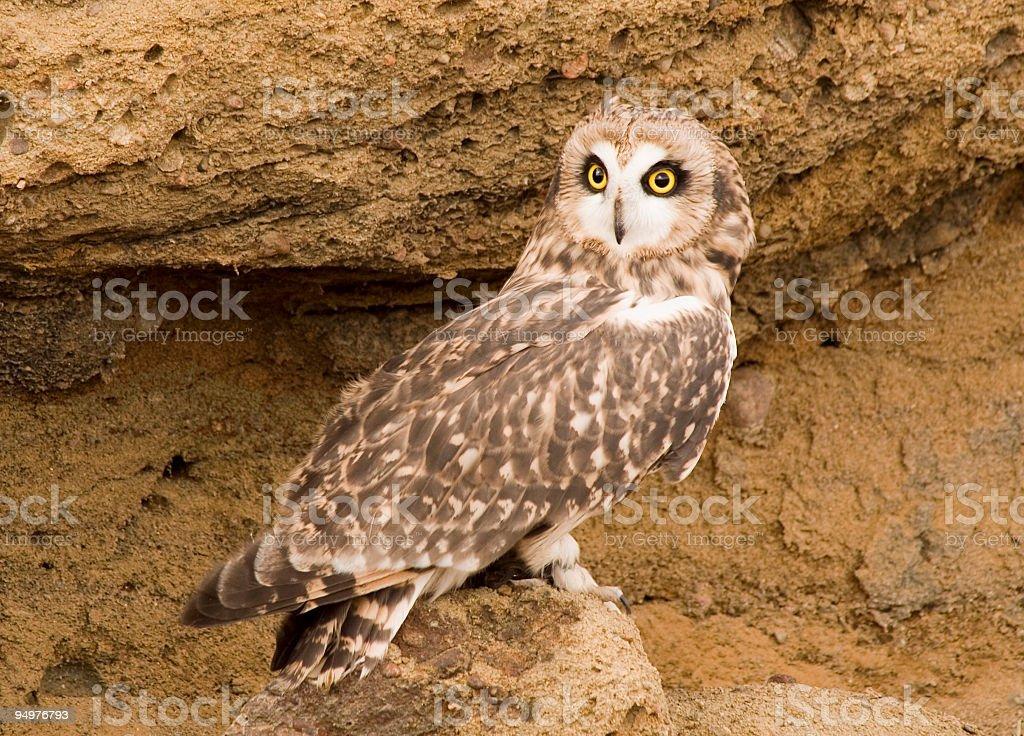 Short-eared Owl on Sandstone stock photo