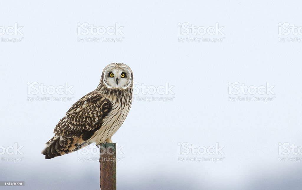 Short-eared owl royalty-free stock photo