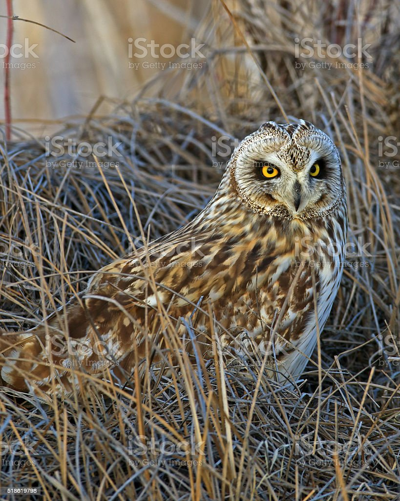 Short-eared Owl Vertical Format stock photo