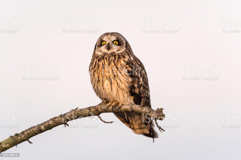 Short-eared owl watching stock photo