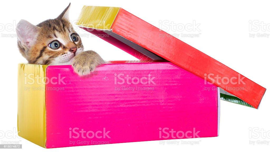 Shorthair brindled kitten hidden in a beautiful gift box isolate stock photo