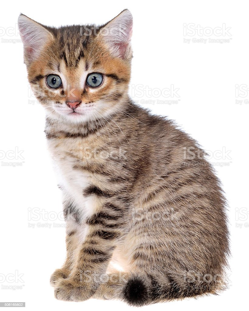 Shorthair brindled kitten stock photo