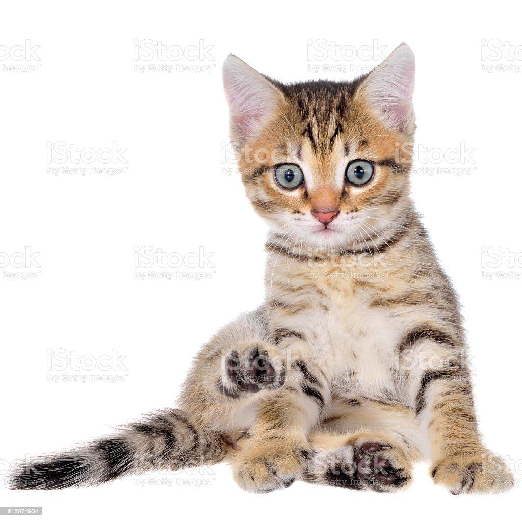 Shorthair brindled kitten stock photo