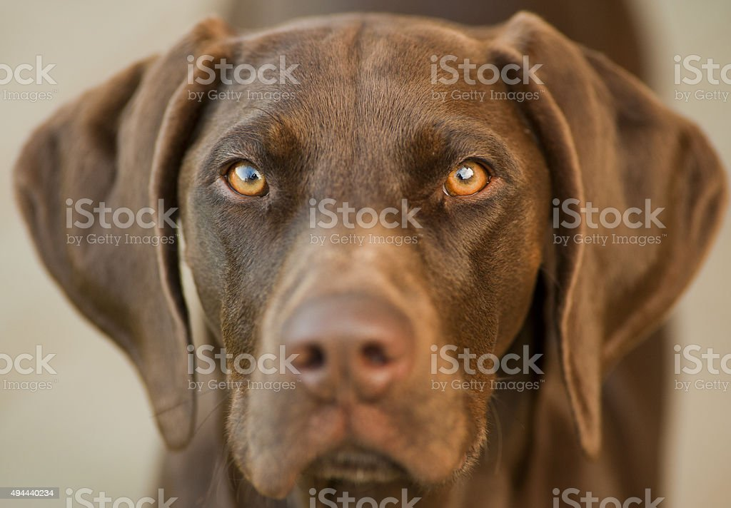Shorthair german pointer eyes stock photo