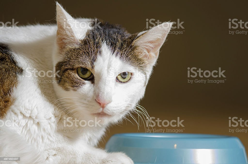 Shorthaired cat eating stock photo