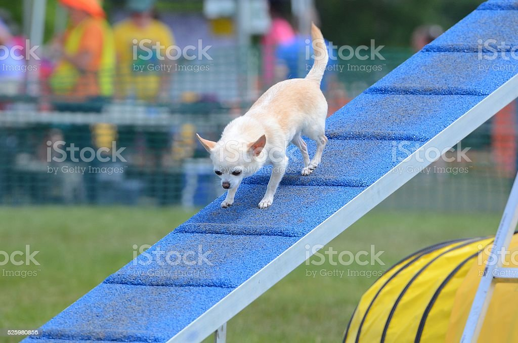 Short-Haired  Chihuahua at a Dog Agility Trial stock photo
