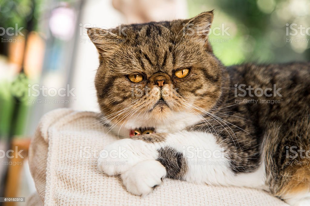 Short-haired Persian exotic cat looking at camera stock photo