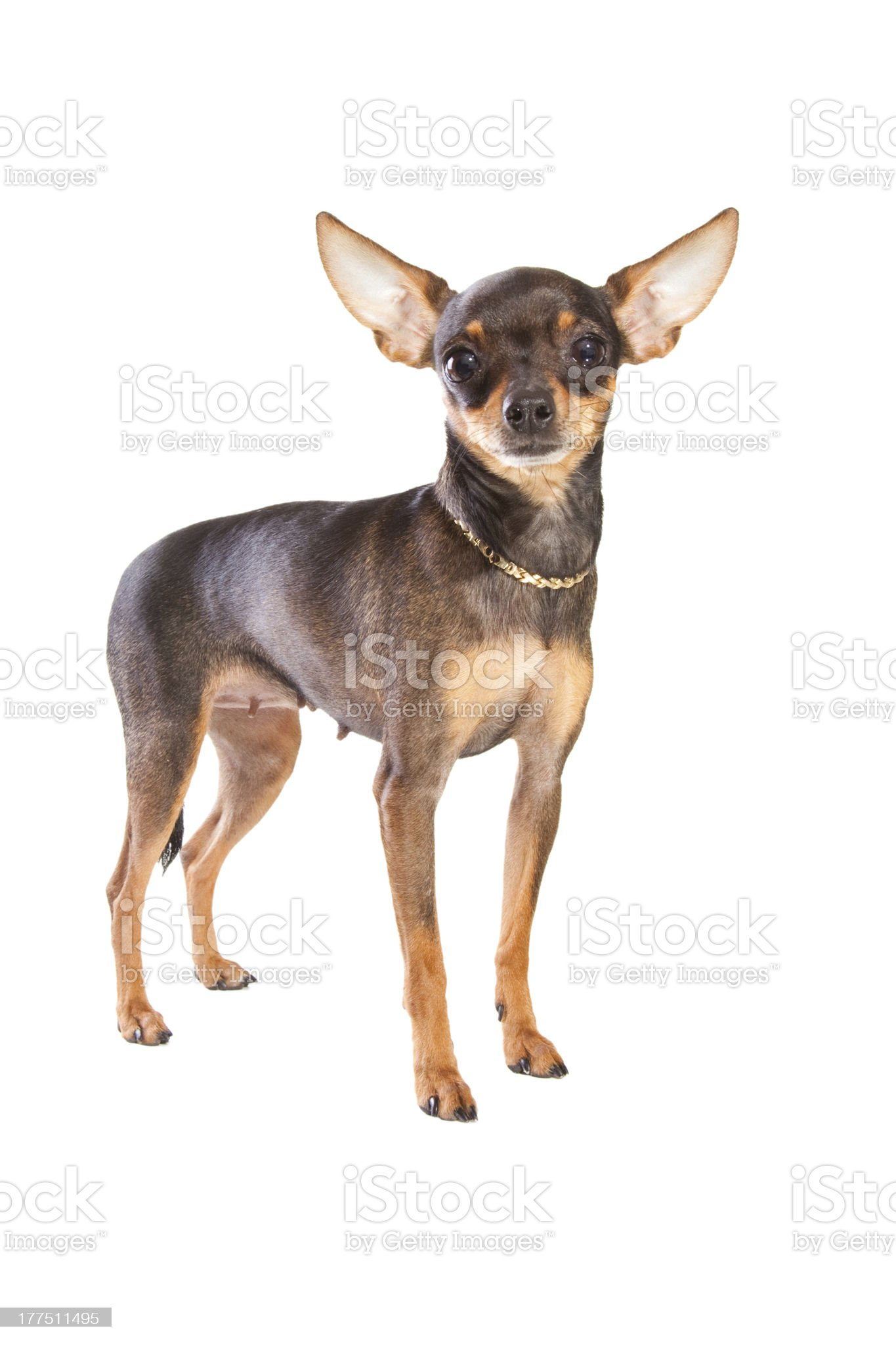 short-haired toy terrier on isolated white royalty-free stock photo