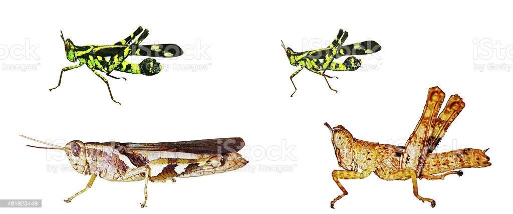short-horned grasshopper isolation stock photo