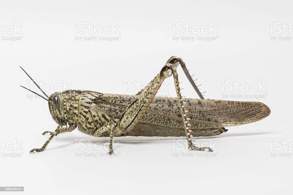Short-horned grasshopper royalty-free stock photo