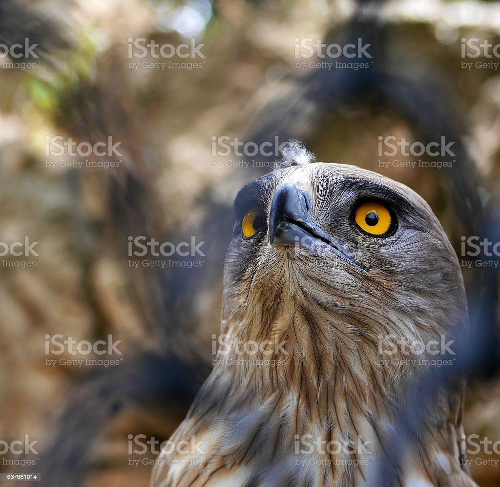 Short-Toed Snake Eagle looking up stock photo