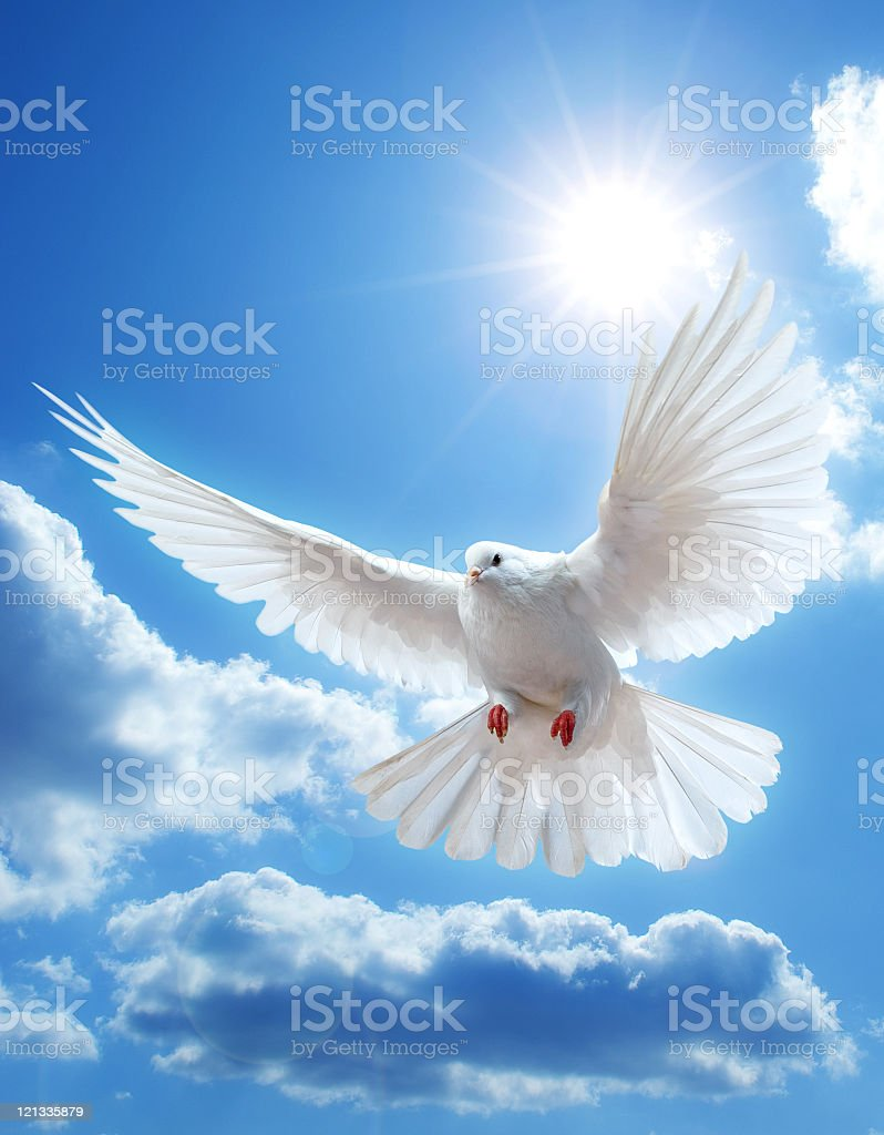 Shot from below of dove with wings extended in sunny sky stock photo