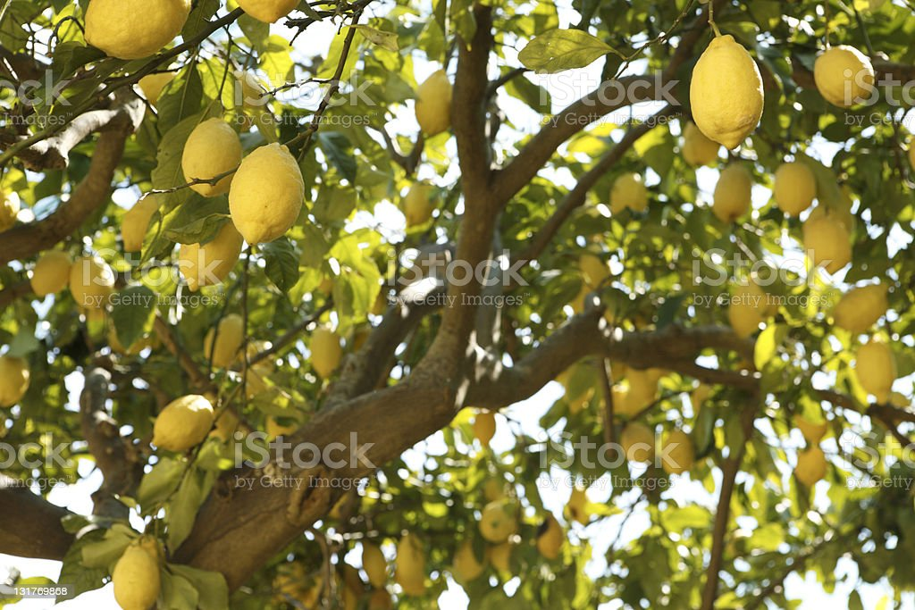 A shot of a branch of a lemon tree stock photo