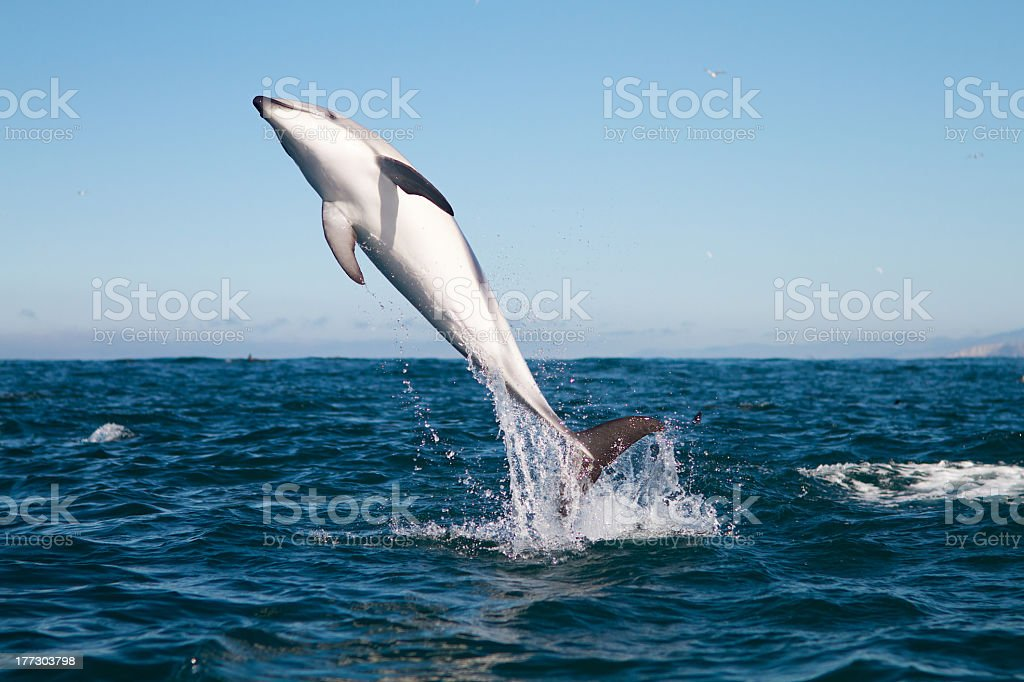 Shot of a dusky dolphin diving out of water for air stock photo