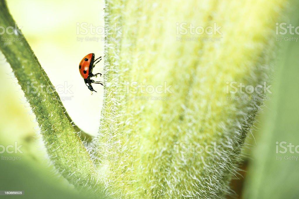 shot of a ladybug royalty-free stock photo