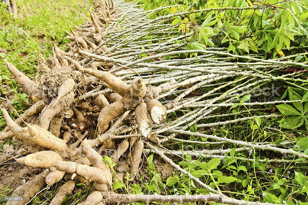 Shot of cassava bulbs being harvested in a field stock photo