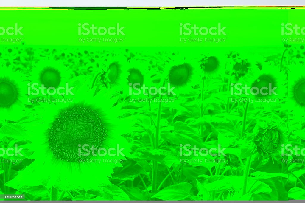 A shot of sunflowers with a green filter applied stock photo