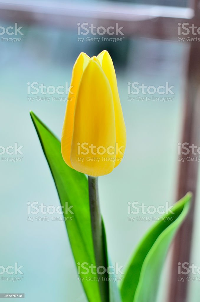 Shot of tulip flower against window at home. stock photo