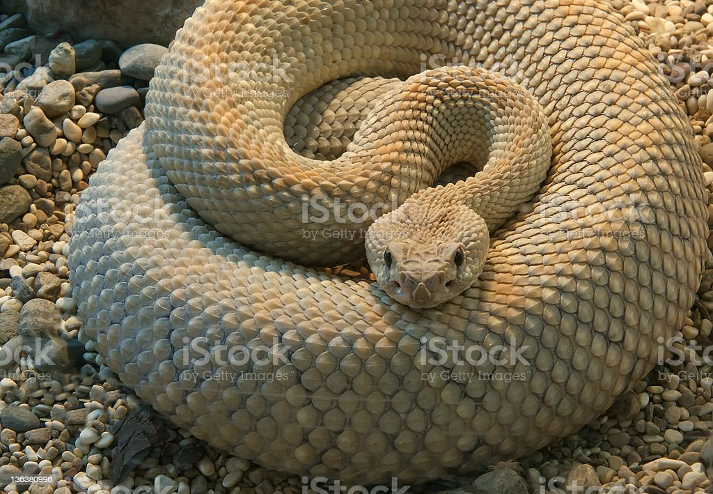 shot snake python, curled up in the ring royalty-free stock photo