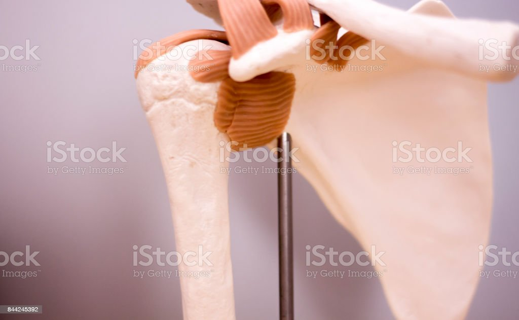 Shoulder blade and back medical study student anatomy model showing bones, tendons, ligaments for teaching. stock photo