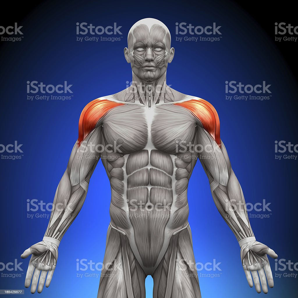 Shoulders - Anatomy Muscles royalty-free stock photo