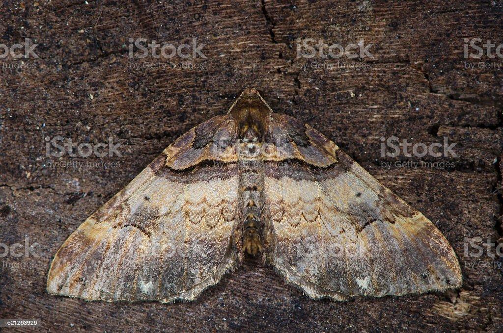 Shoulder-stripe moth (Earophila badiata) from above stock photo