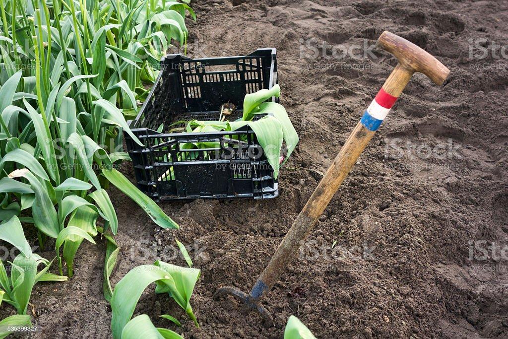 Shovel with dutch flag near a field of tulips stock photo