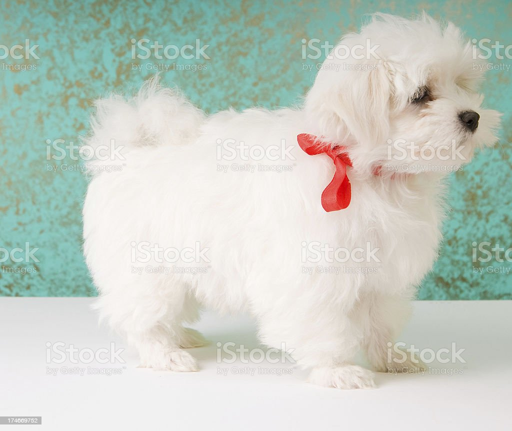 Show View of Havanese Puppy royalty-free stock photo
