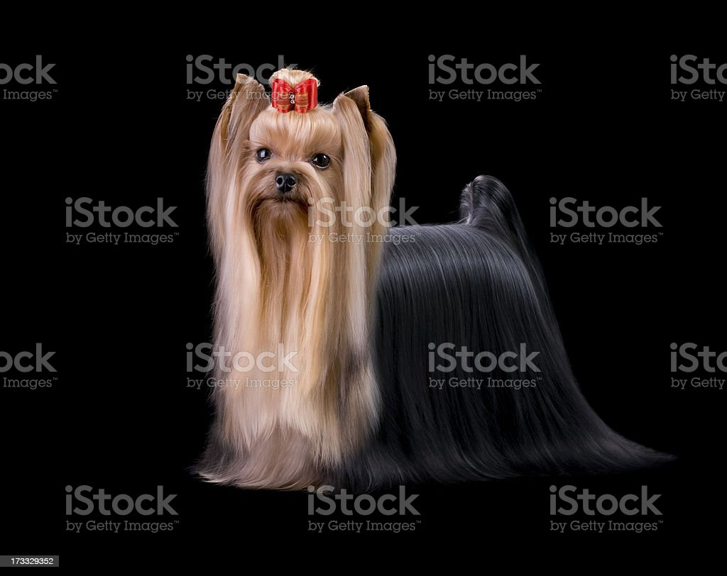Show Yorkshire Terrier Purebred Dog royalty-free stock photo