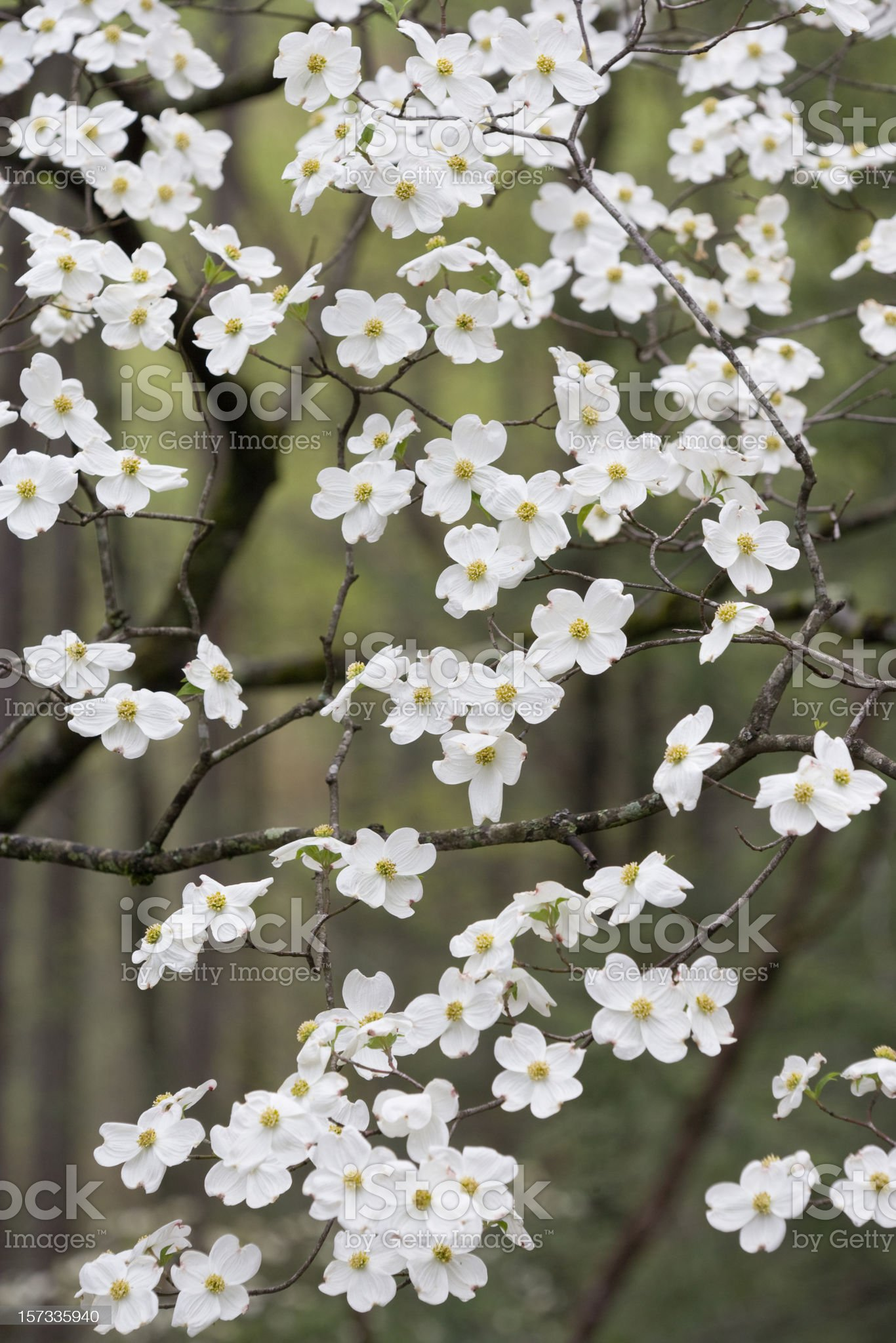 Shower of Dogwood Blossoms royalty-free stock photo