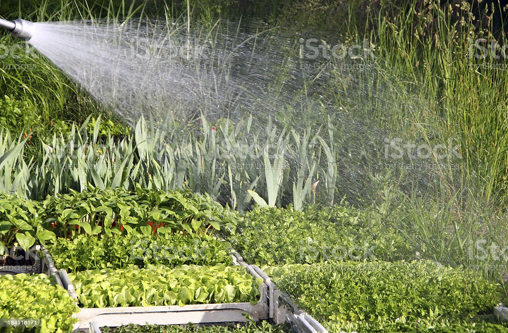Shower water for the plants stock photo