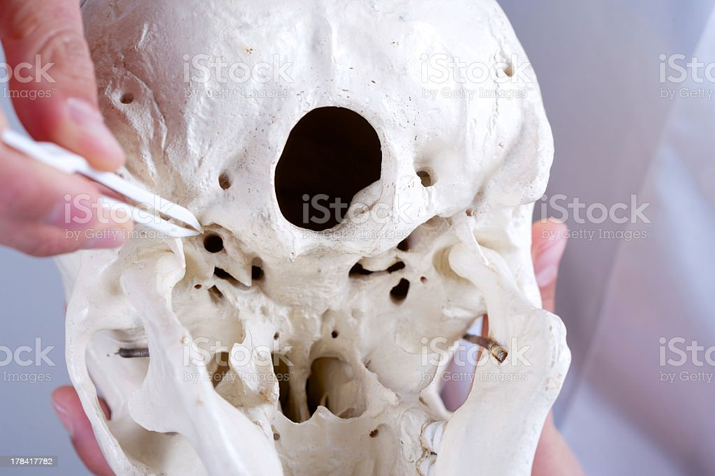 showing carotid canal at synthetic skull stock photo