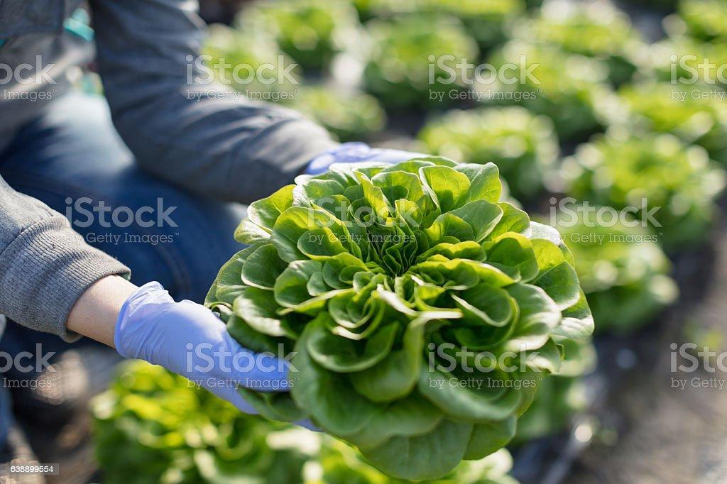 Showing organic leaf lettuce stock photo