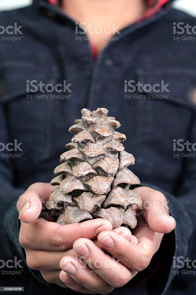 Showing pine cone stock photo