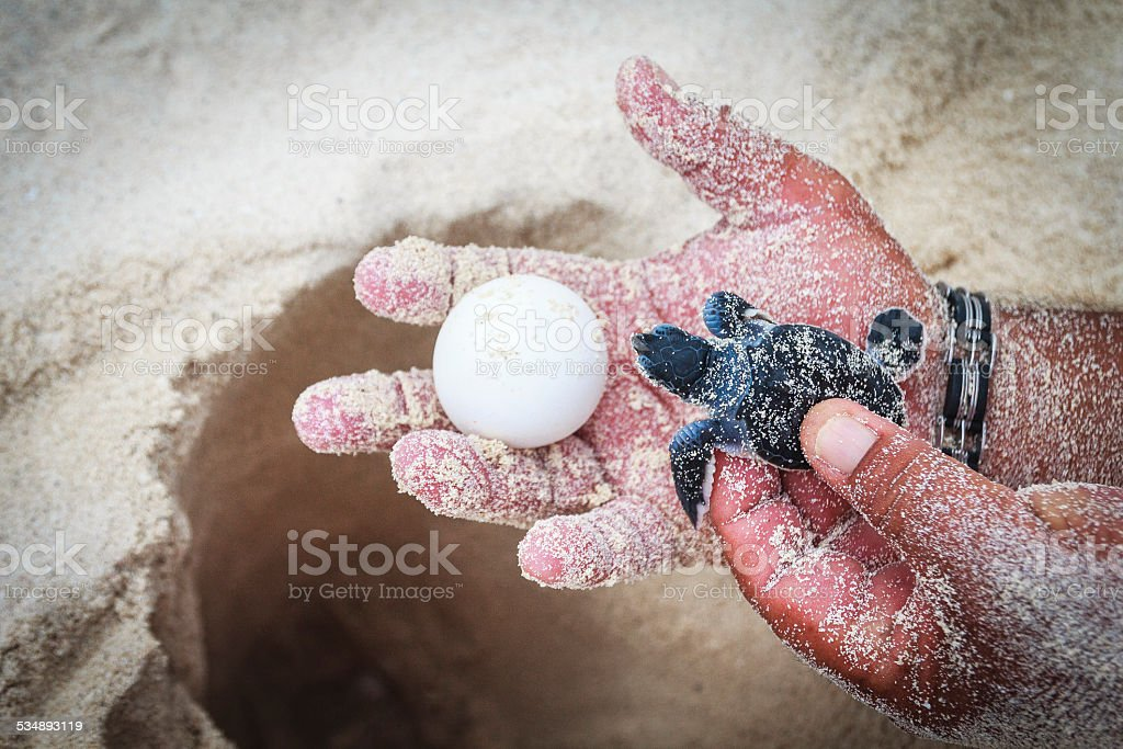 Showing Sea Turtle Egg with Newborn Animal and Hatchery Site stock photo