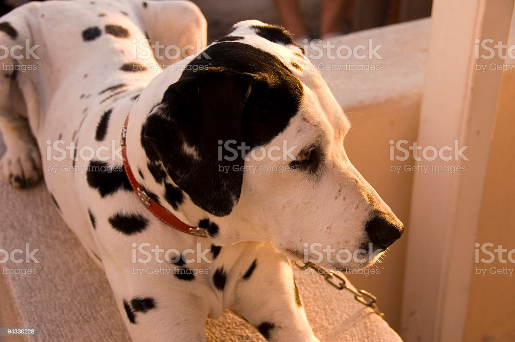 show-off dog royalty-free stock photo