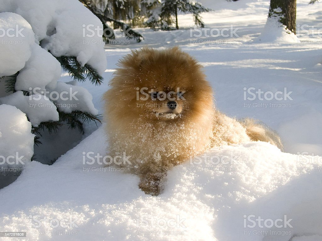Show-Time basking in the snow royalty-free stock photo