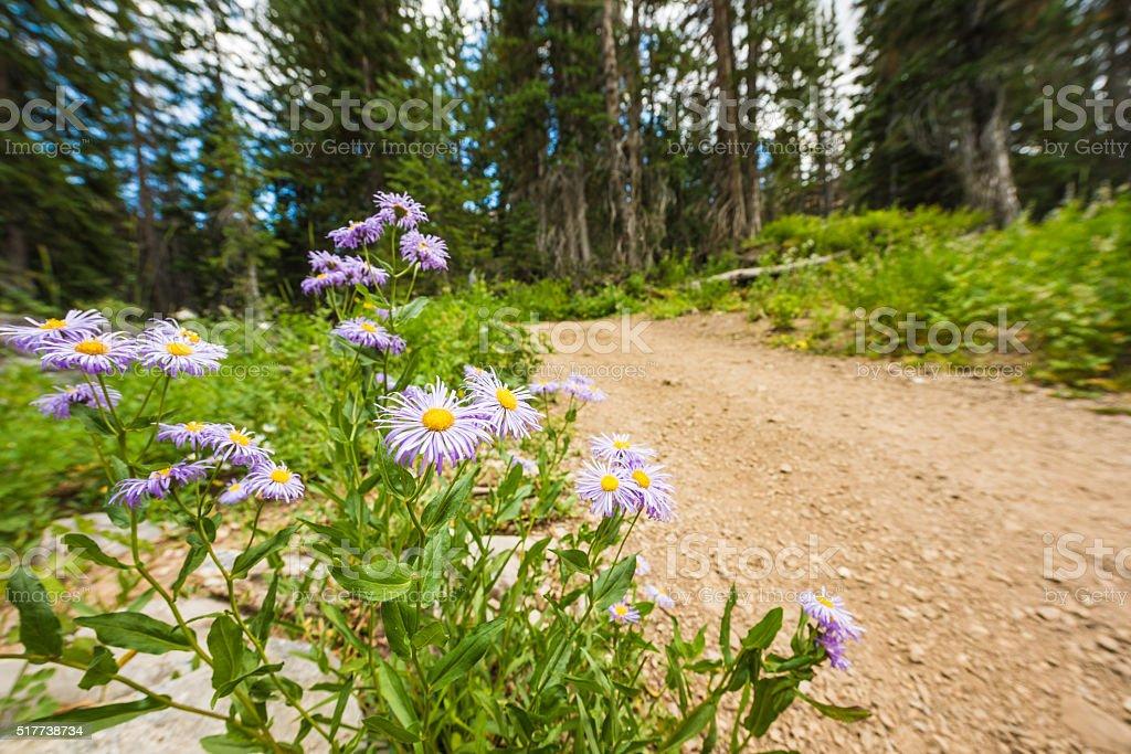 Showy Daisy/Fleabane wildflowers in alpine forest stock photo