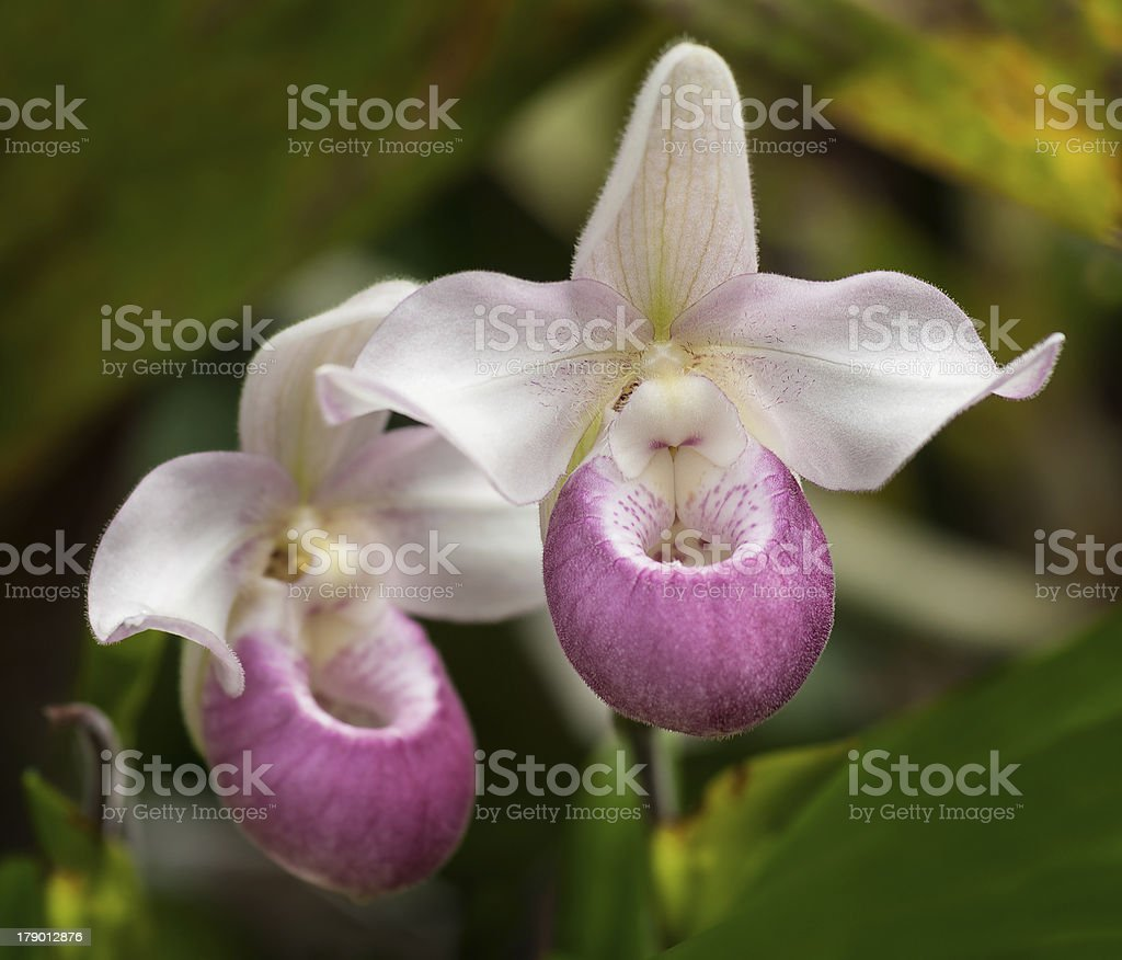 Showy Lady's Slipper (Cypripedium reginae) stock photo