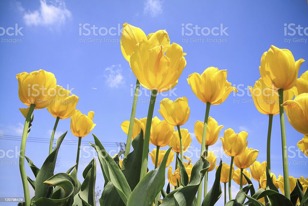 Showy spring blooming Dutch tulip royalty-free stock photo
