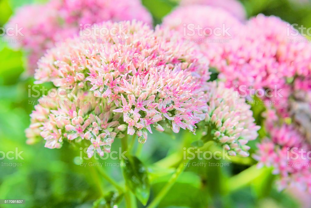 Showy stonecrop flowers with drops of water stock photo