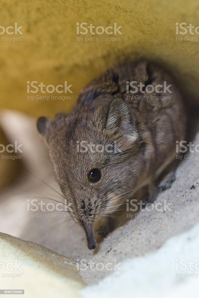 Shrew with a long nose stock photo